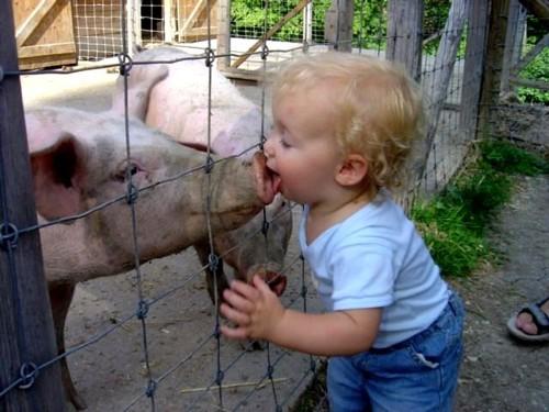 bico_porco